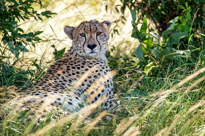 Cheetah in Grass in Kenya Africa