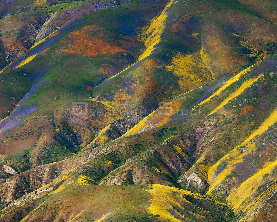 Aerial view of spring wildflower displays, Phacelia (purple) San Joaquin Blazing Star (orange) and Coreopsis (yellow) Temblor...