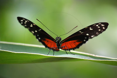 Papillon Heliconius hecale - Tiger Longwing (Heliconius hecale)