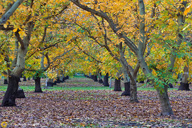 Walnut Orchards in Fall #5