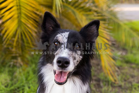 Happy border collie smiling