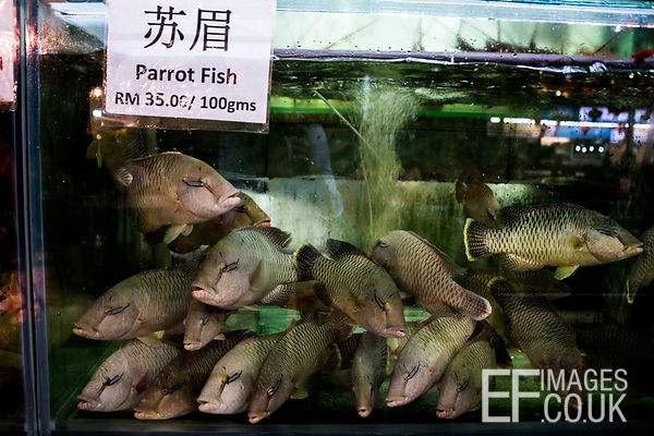 Endangered juvenile Humphead Wrasse - not Parrot Fish - on sale at a seafood restaurant in Kota Kinabalu, Malaysia, 2018