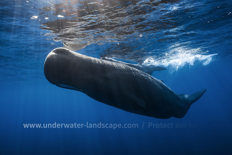 Sperm Whale over the surface in mauritious island