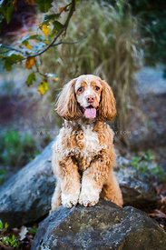 older Cocker Spaniel standing on rock