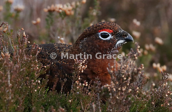 Male Red Grouse (Lagopus lagopus scotica), early January, Lochindorb, Scottish Highlands