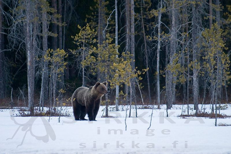Brown Bear on Spring Snow