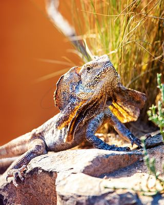 Alert Frilled Lizard On Rock