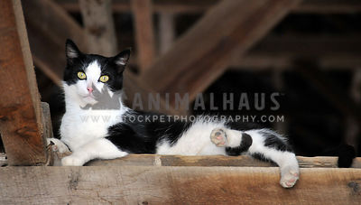 barn cat in the rafters
