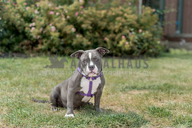 Pitbull puppy sitting in the grass