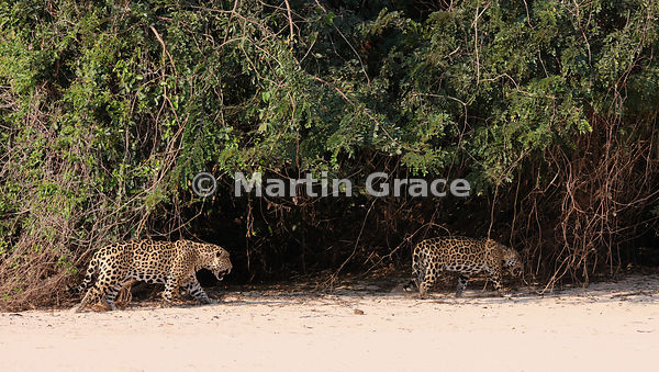 Male Jaguar (Panthera onca) 'Hero' (left) trails 'Hunter' back up the beach, Three Brothers River, Northern Pantanal, Mato Gr...