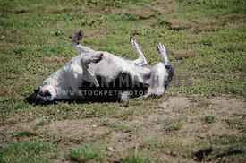 A playful Border Collie mix rolls on his back on the grass