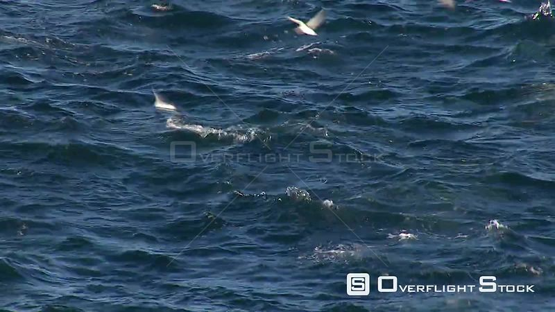 Handheld shot of a school of dolphins leaping in and out of water. Western Cape South Africa