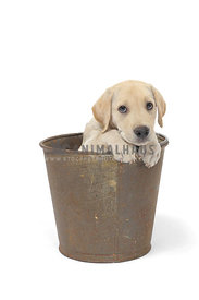 Shy Yellow lab puppy in bucket on white background