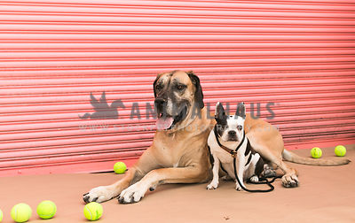 Great Dane and french bull dog in front of pink garage door