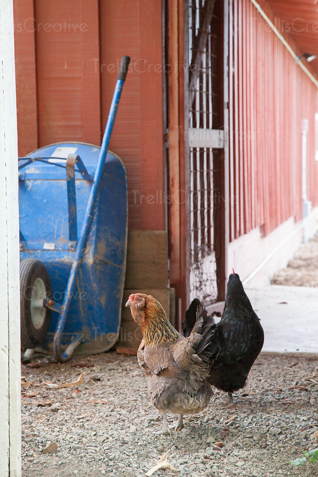 Two chickens with a blue wheelbarrow outside a barn