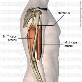 upper-arm-musculus-triceps-brachii-biceps-muscle-humerus-side-skin-names