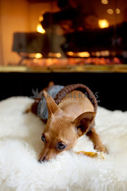 miniature pinscher dog laying by fireplace