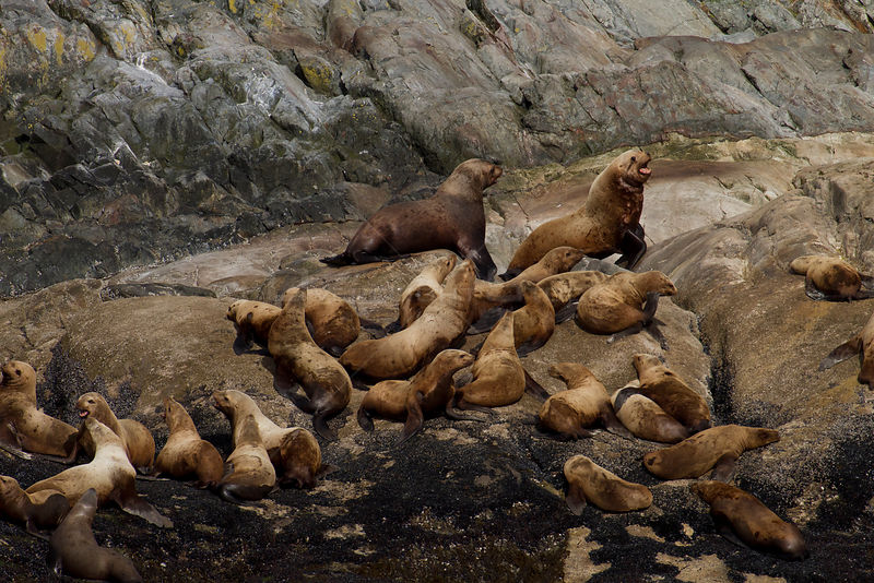 Steller sea lion (Eumetopias jubatus) colony, Marble Island, Glacier Bay National Park, Alaska, USA, May, Endangered