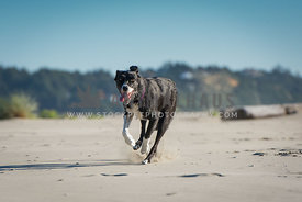 black and white border collie happily races towards the frame as it runs through the sand at the beach