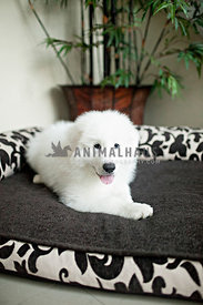 happy fluffy white great pyrenees laying in dog bed in foyer with potted plant
