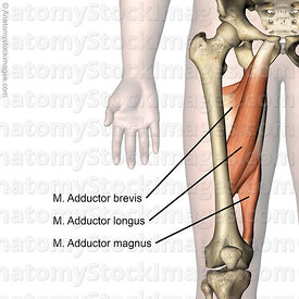 hip-muscles-aductors-musculus-adductor-brevis-longus-magnus-muscle-skin-names