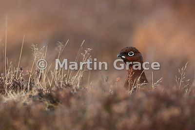 Red Grouse (Lagopus lagopus scotica), early January, Lochindorb, Scottish Highlands