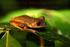 Map tree frog ( Hypsiboas geographicus, formerly Hyla geographica )