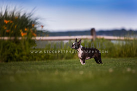 boston terrier standing in large field