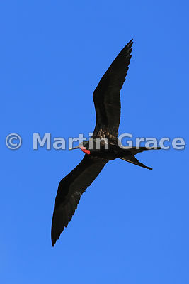 Male Great Frigatebird (Fregata minor ridgwayi) in flight with his red gular pouch deflated, Darwin Beach, Genovesa, Galapago...