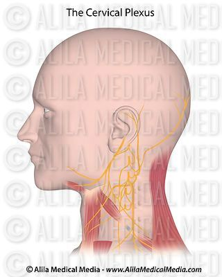 The cervical plexus, unlabeled.