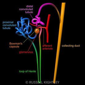 Human nephron labelled #3