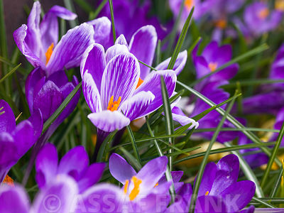 Crocuses in grass, close-up