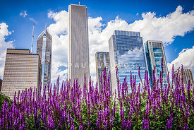 Chicago Buildings and Spring Flowers Picture