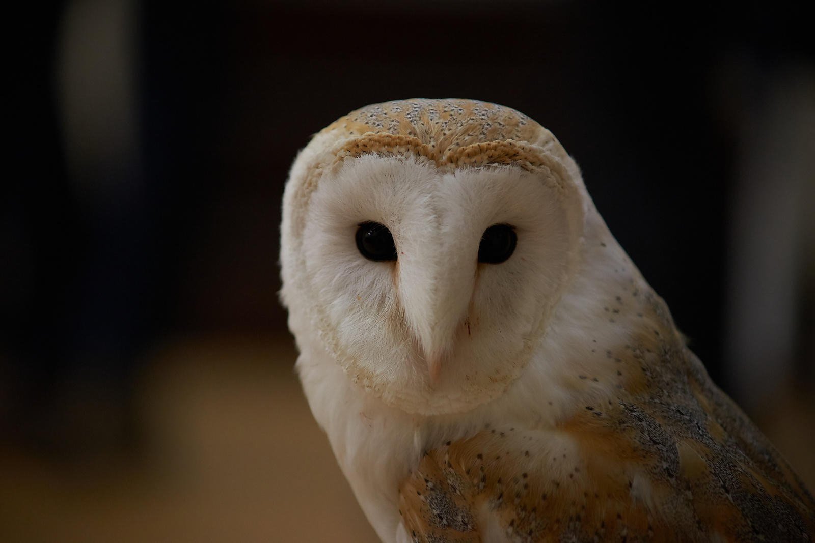 Pawsey_Photography_-_Canvas_for_sale_-_Barn_owl_portrait-180125191345