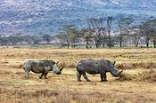 Rhino and Calf Walking in Lake Nakuru Kenya