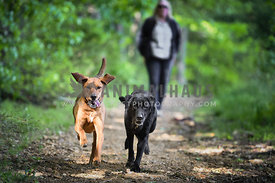 hound and lab running in woods