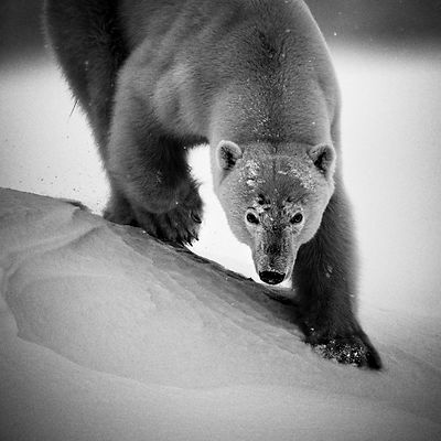9909-Polar_bear_Svalbard_2014_Laurent_Baheux