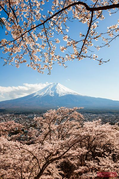 Mount Fuji with cherry tree in bloom, Japan