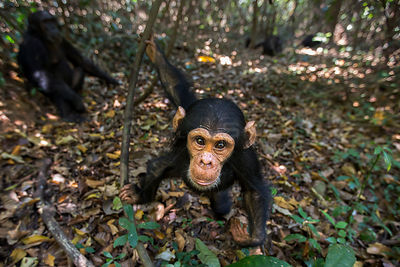Eastern chimpanzee (Pan troglodytes schweinfurtheii) infant male 'Google' aged 3 years approaching with curiosity. Gombe Nati...