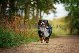 bernese mountain dog running down woodland trail