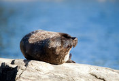 Thinking...? Saimaa Ringed Seal