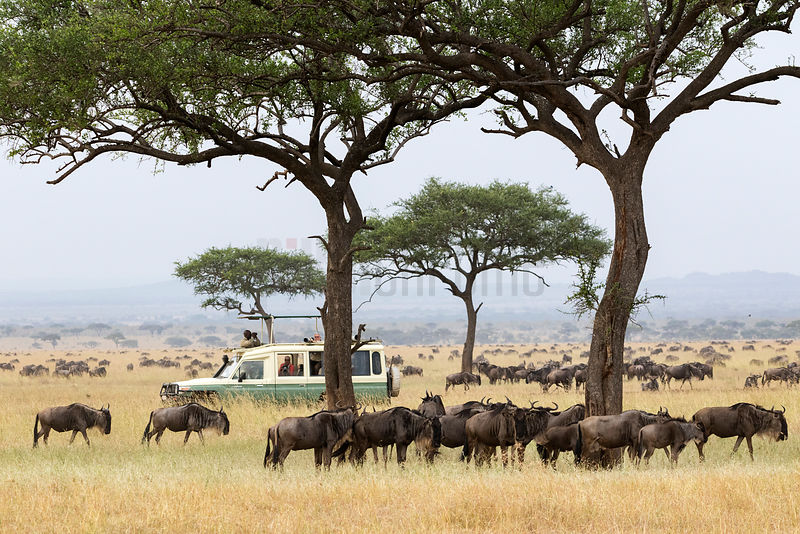 Ali Driving his Vehicle among Migrating Wildebeest on the Serengeti Plain