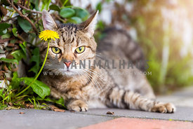 a tabby cat looks out from behind a yellow flower