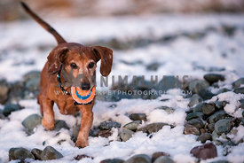 Dachshund Standing walking in snow with a ball