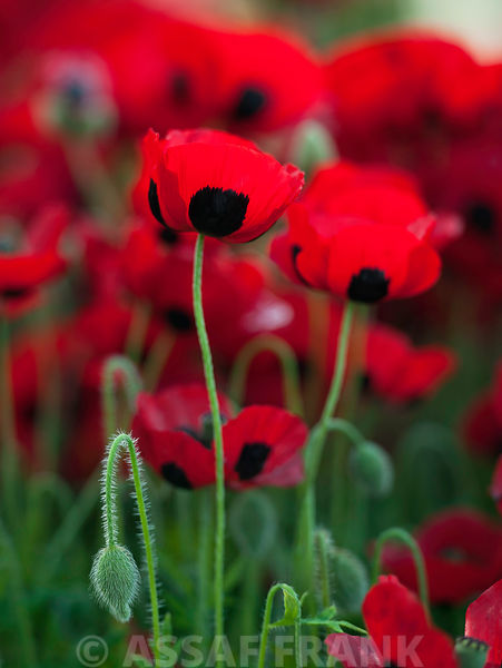 Ladybird poppies