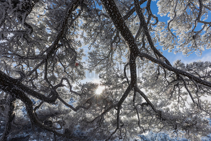 Huangshan Pine Covered in Rime Ice