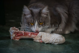grey cat feeding on big turkey bone