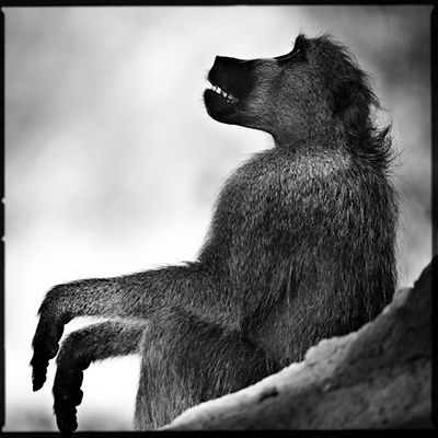 7391-Baboon_looking_at_the_sky_Laurent_Baheux