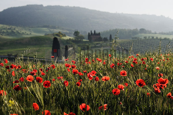 Italy, Tuscany, San Quirico d'Orcia, poppies in field