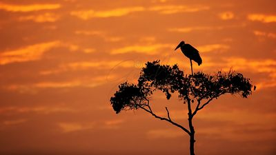 Maribou Stork on Tree With Orange Sunrise Sky